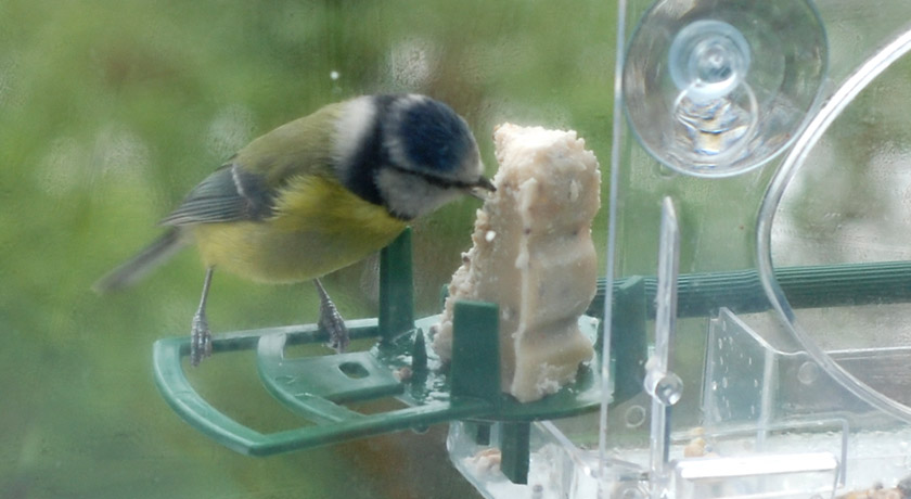 Blue tit eating fatcake with turned head