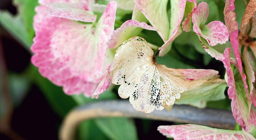 Lacy hydrangea petal
