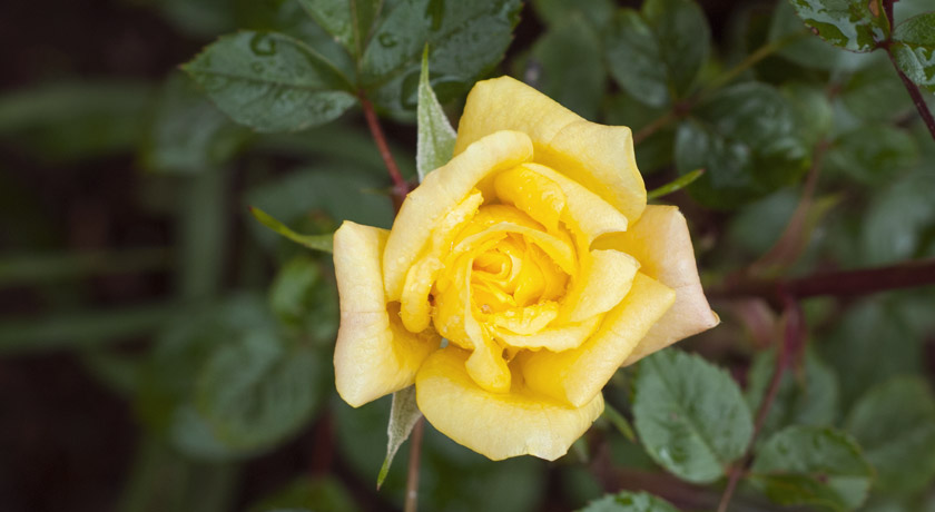 Yellow Laura Ford rose