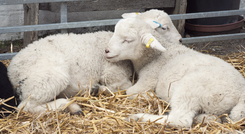 Two lambs sleeping at Mill Farm