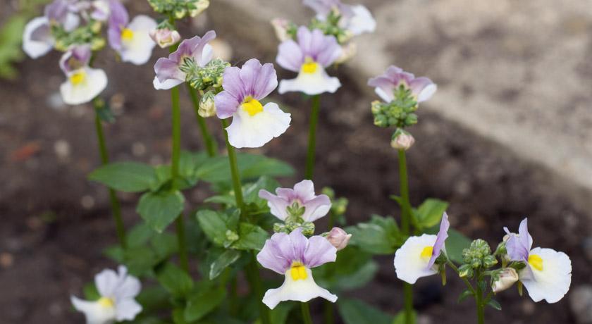 Purple, white and yellow Nemesia
