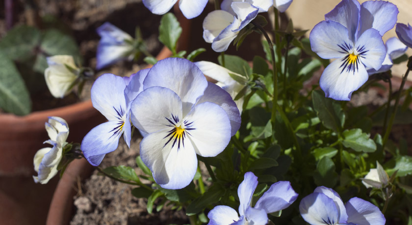 Purple and cream viola flowers