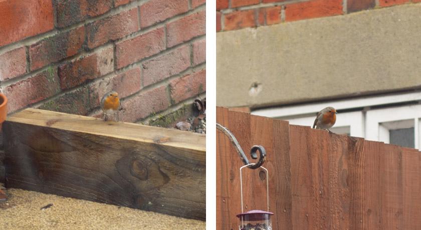Robins in the garden