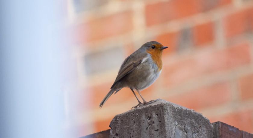 Robin sitting on a fence