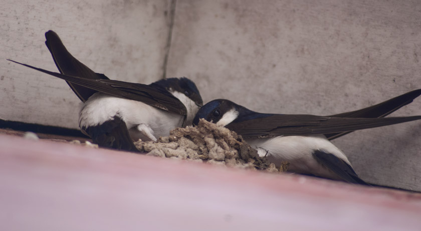 Tree sparrows building nest