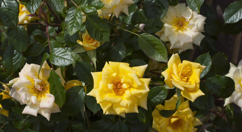 Yellow Laura Ford roses