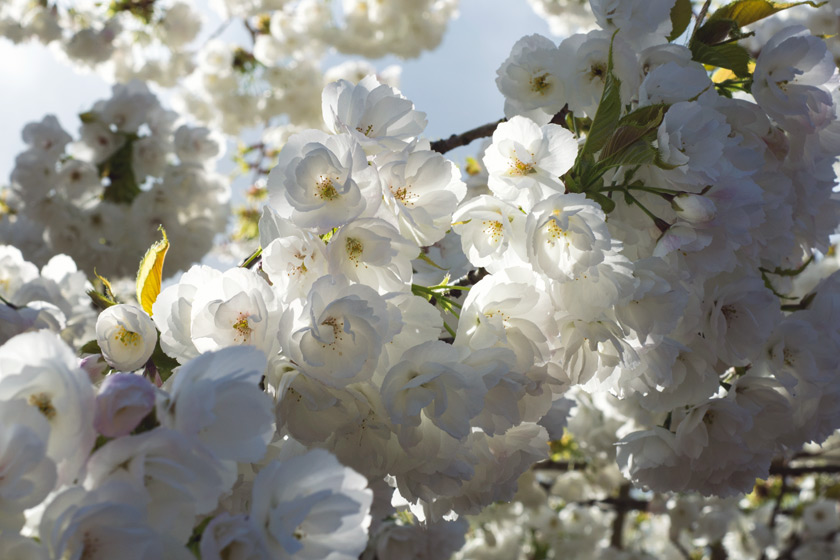 Dappled sunlight on white blossom