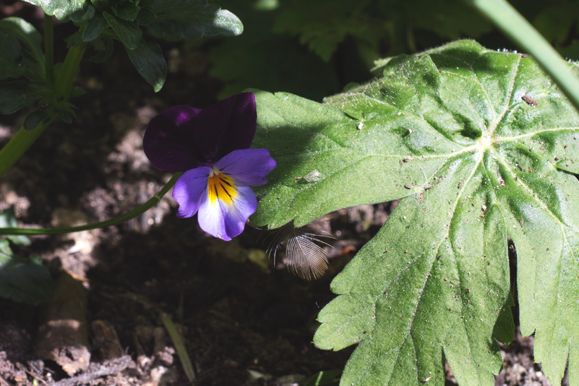 Heartsease flower and feather