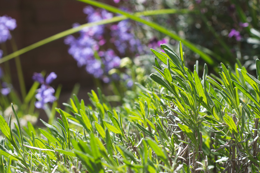 Lavender leaves in the sun