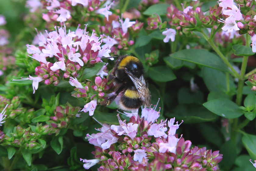 Bee on marjoram flowers