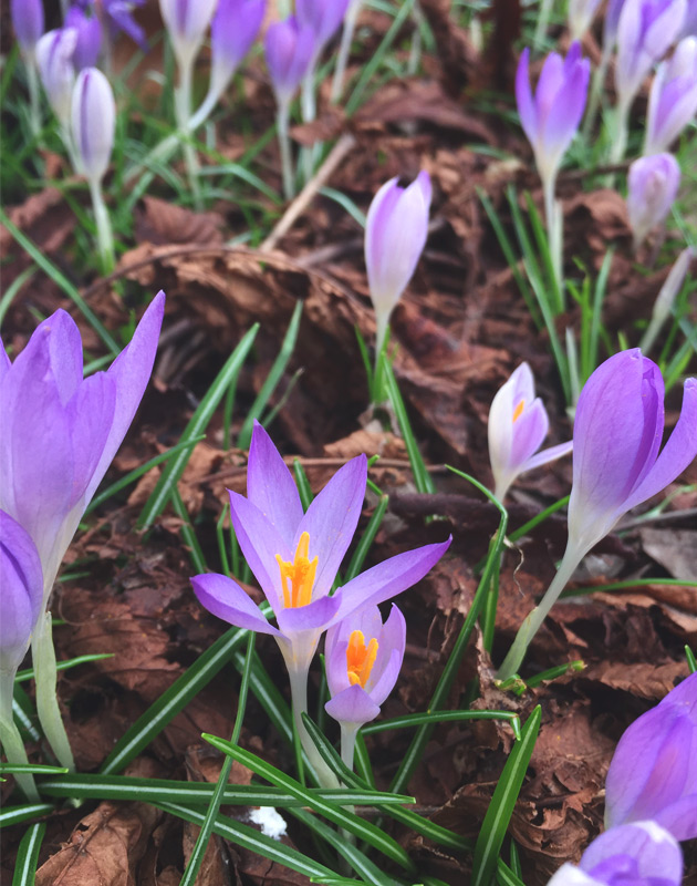Patch of purple crocus