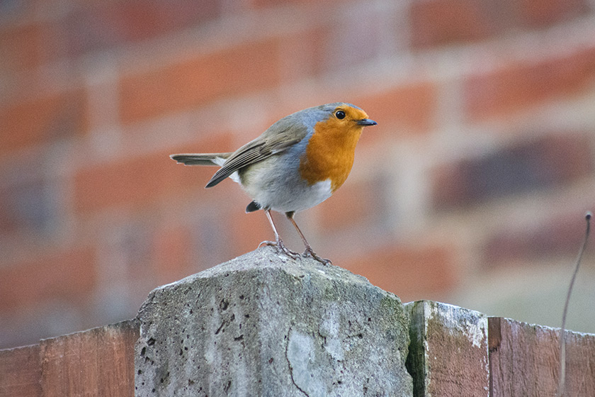 Robin standing on fence post