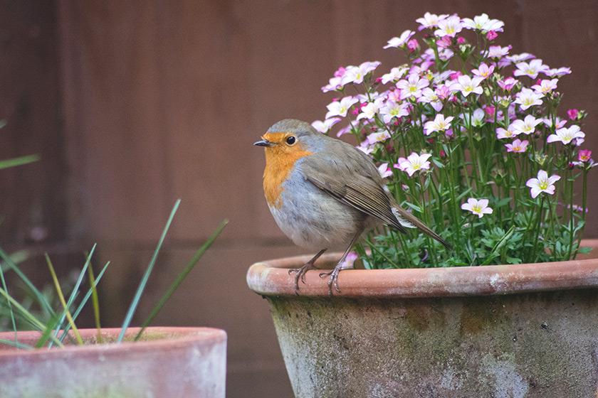 Robin standing on flower pot