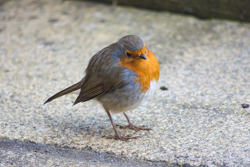 Robin tilting head