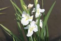 White Iris (maybe)