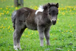 Domino is one of the Shetland foals safely delivered at the park