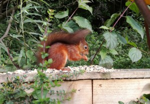 Captured on camera, the park's pioneering red squirrel