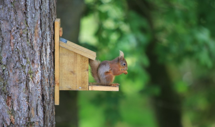 Tucking in: a hungry member of Skelwith Fold's red squirrel colony feeds on the park's special aniseed food mix