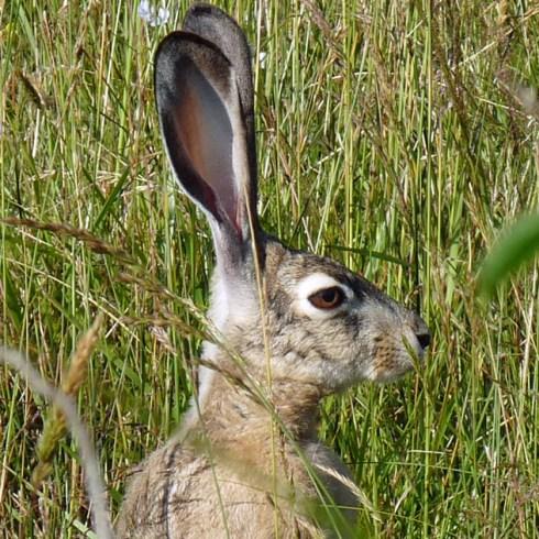 Jack Rabbit Richard St. Barbe Baker Afforestation Area. Saskatoon, SK, CA