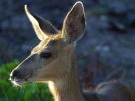 White-tailed Deer Fawn. Richard St. Barbe Baker Afforestation Area. Saskatoon, SK, CA