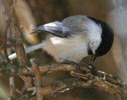 Black Capped Chickadee. Richard St. Barbe Baker Afforestation Area. SAskatoon, Sk, CA