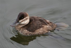Ruddy Duck in the West Swale Wetlands (Chappel Marsh) One of the only locales in Saskatchewan to sight the Ruddy Duck. Richard St. Barbe Baker Afforestation Area, Saskatoon, SK, CA