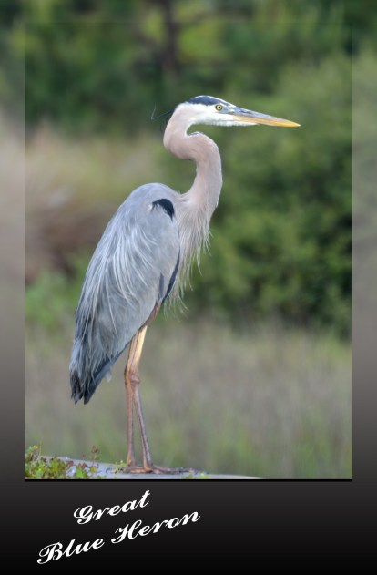 "Great Blue Heron Ardea herodias 42-52"" (105-130 cm) four feet standing."