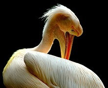 Pelican Preenning