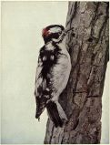 Downy Wwoodpecker Ddryobates pubescens
