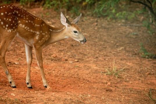Baby Deer ~ Fawn