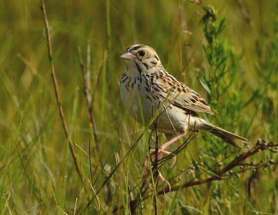 Baird's Sparrow (Ammodramus bairdii)