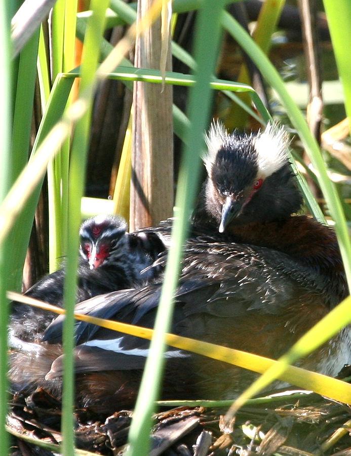 Horned Grebe Podiceps Auritus Nesting