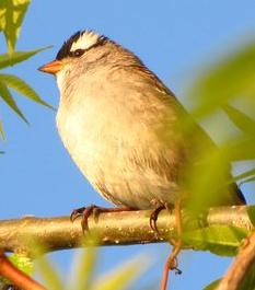 White-crowned_sparrow_Zonotrichia albicollis