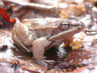 Rana_sylvatica Wood Frog