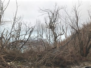Dead trees and brush along Centerline Road in the days after Hurricane Irma.