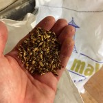 Malted barley in a hand