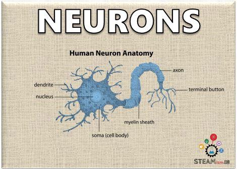 Neurons - our Brain\'s 100 Billion Instant Messengers