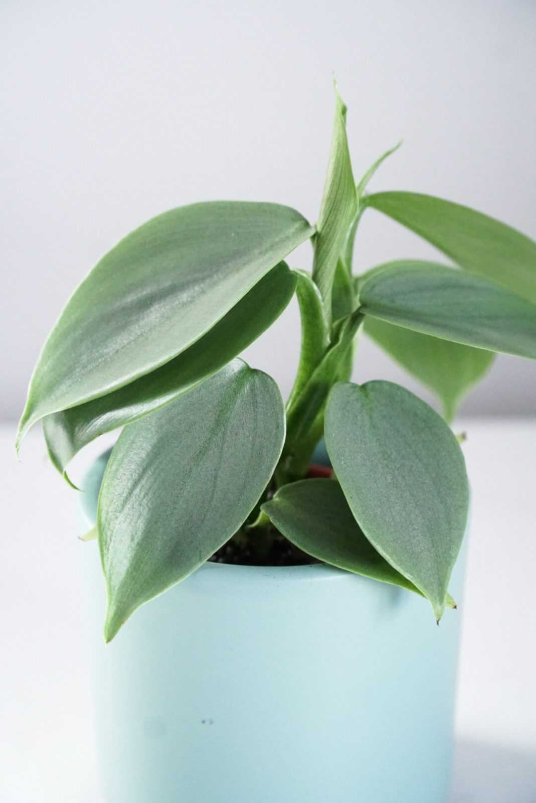 Philodendron Silver Sword buitenplant kamerplant plant plantje stek stekje terracotta pot potje glas glaasje