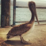 big Pelican in Redondo