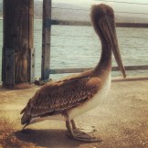 big Pelican in Redondo
