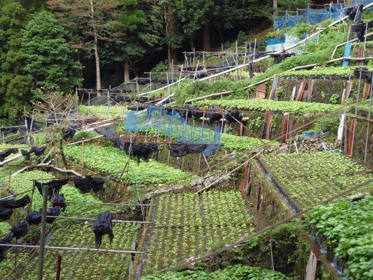 Izu_city,_Yugashima,_Wasabi_fields_20111002_A.jpg