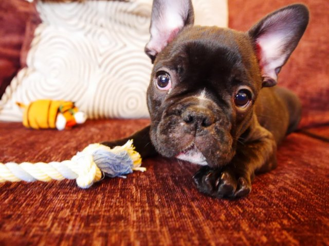 owning a french bulldog puppy - cuteness overload