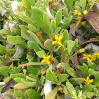 Bower Spinach (Tetragonia implexicoma) and Sea Spinach (T. decumbens)