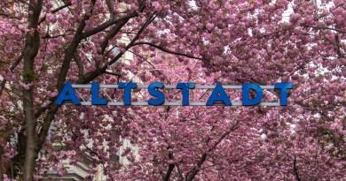 Zur Kirschblüte nach Bonn