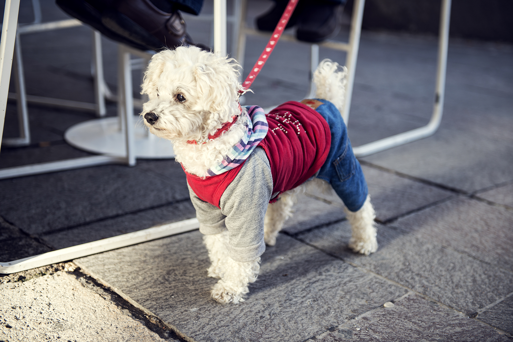 Maltese poodle dressed up in a colourful jumper