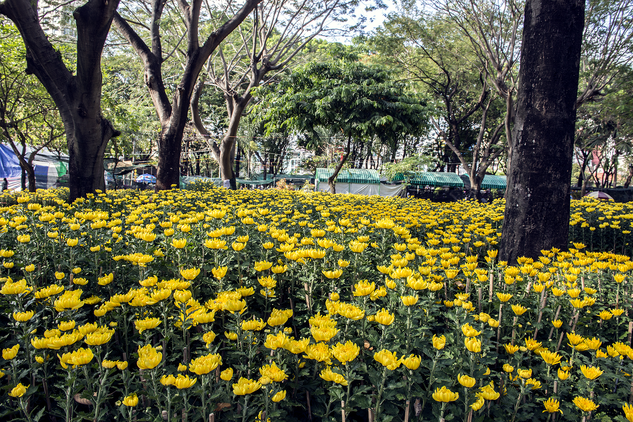 Sea of yellow flowers in a Ho Chi Minh City park