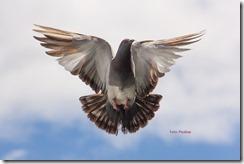 pigeon-747462_1280