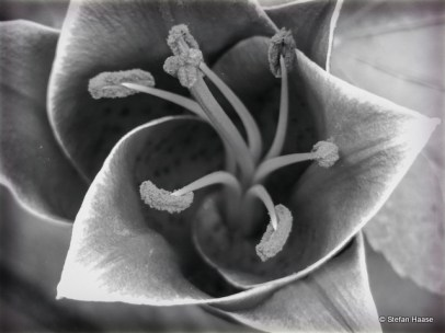 Lily Black and White