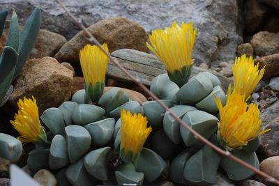Lebende Steine: Lapidaria margaretae