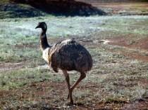 an emu01945